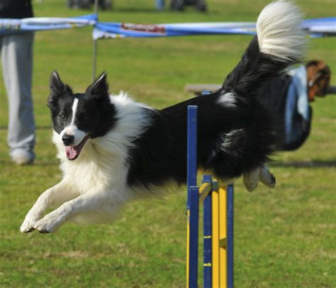 how to agility akc agility course akc weave images breeds picture
