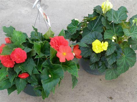 tuberous begonia plants images