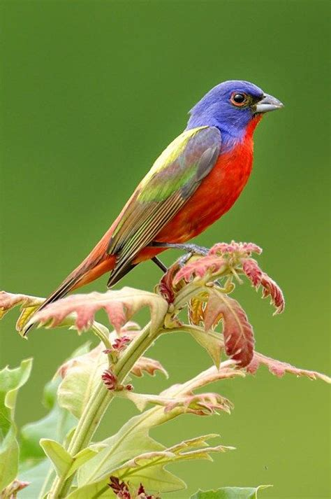 painted bunting birds pinterest