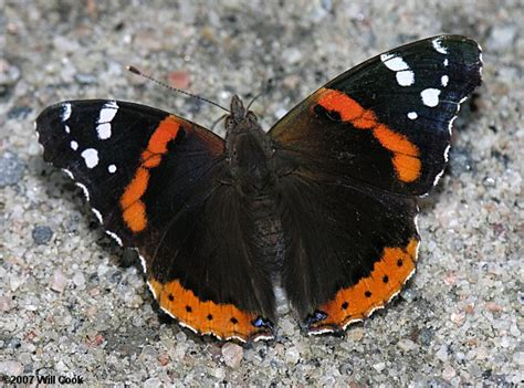 red queen tattoo fort payne alabama red admiral butterfly vanessa atalanta one of our most