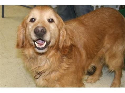golden retriever rescue adoption of needy dogs best 25 gold retriever ideas only on wwwface book retriever puppies and