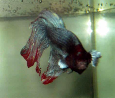 Betta Fish Look at the Bubbles!   Random Bits of Projects
