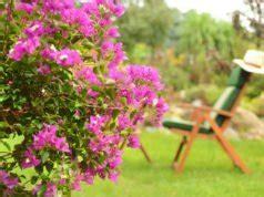 bougainvillea schneiden olivenbaum schneiden schritt f 252 r schritt zur perfekten form
