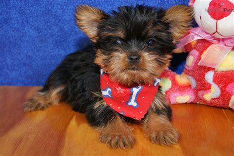 free yorkie puppies in atlanta ga adorable yorkie puppy terrier yorkie puppy for sale near atlanta
