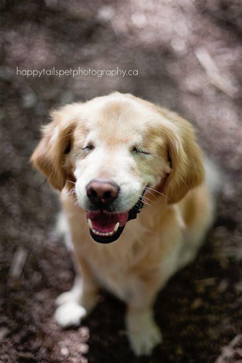smiley golden retriever blind golden retriever smiley burlington pet photographer