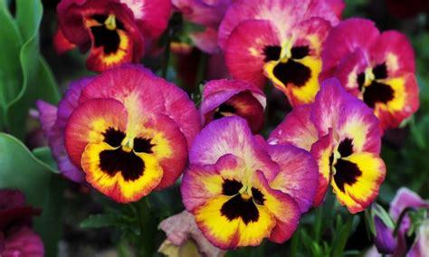 viole in vaso viola pensiero piante annuali