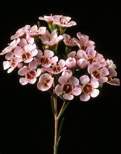 light pink wax flower pink wax flower flowers blush lighter and