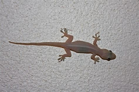 common house gecko facts  pictures