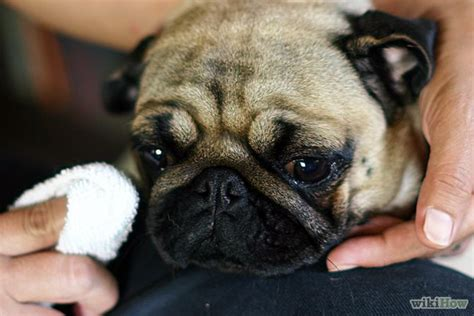 cleaning pug wrinkles how to clean a pug s wrinkles 5 steps with pictures