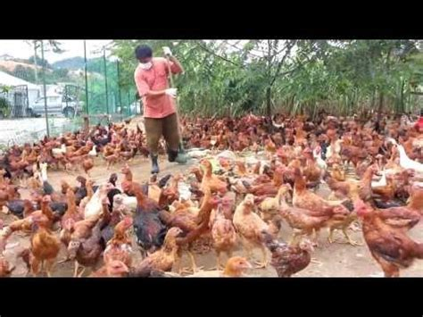 Fermentasi Pakan Ternak Ayam Pedaging cara ternak ayam 2012