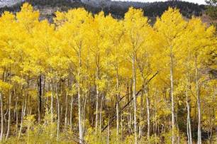 White And Yellow Duvet Cover Quaking Yellow Aspens Photograph By Jeff Lowe