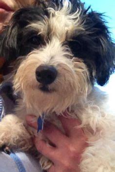 havanese rescue oklahoma casper 2 bichon frise age senior compatibility w most dogs w