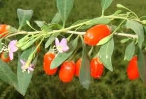 fiori di goji pianta goji lycium barbarum