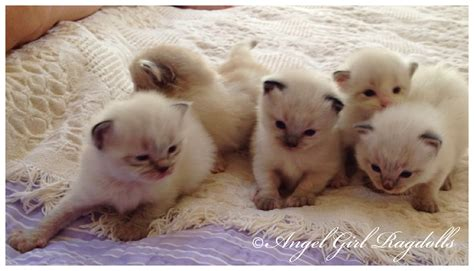 a ragdoll kitten available ragdoll kittens 187 ragdolls