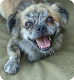 pomeranian puppies seattle quot fraggle rock quot adopted seattle wa pomeranian pug mix