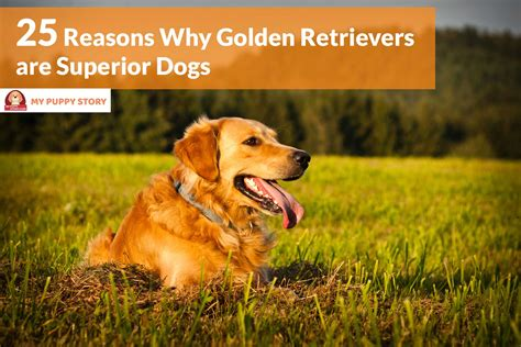 why to get a golden retriever 25 reasons why golden retrievers are superior dogs my puppy story