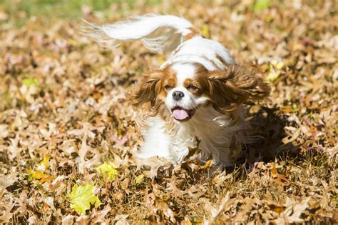 akc dogs the 25 smallest breeds american kennel club