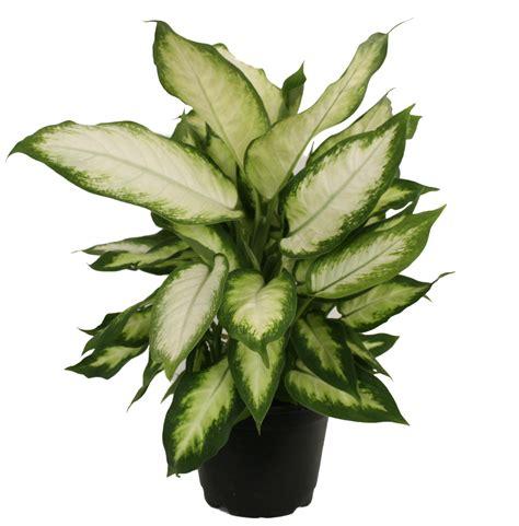 delray plants dieffenbachia camille easy  grow
