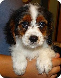king charles yorkie mix for sale feist and yorkie mix breeds picture