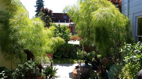 Landscape Design East Bay Plantfiles Pictures Mexican Weeping Bamboo Otatea