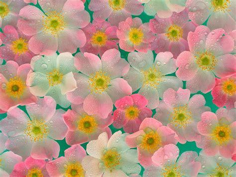 imagenes fondo de pantalla flores solo fondos de pantalla gt flores