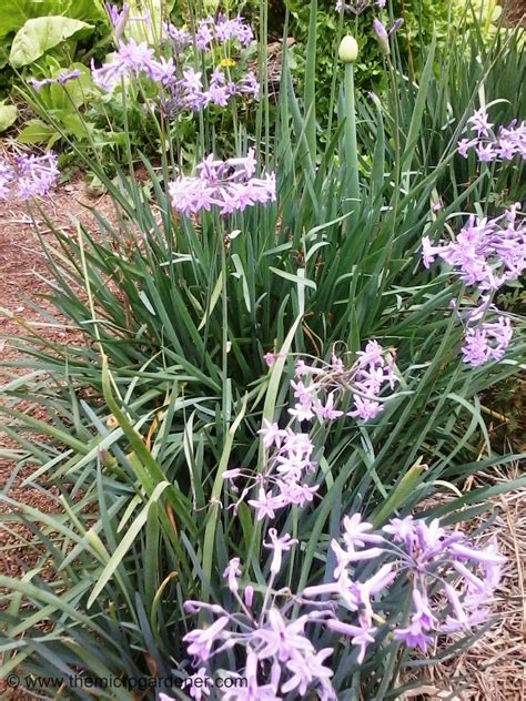 flower spring guide to growing spring onions the micro gardener