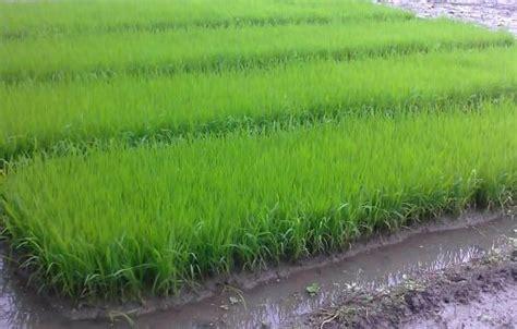 cara membuat zpt organik untuk padi cara budidaya padi organik dengan pola hcs organic hcs