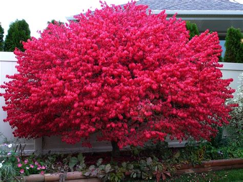 dwarf burning bush okanagan xeriscape association