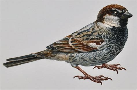 Essay On The Bird Sparrow by Busacca Gallery Wildlife Sparrow Painting On Watercolor Paper By Olga Levchenko