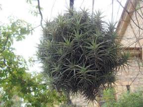 air plants sprig
