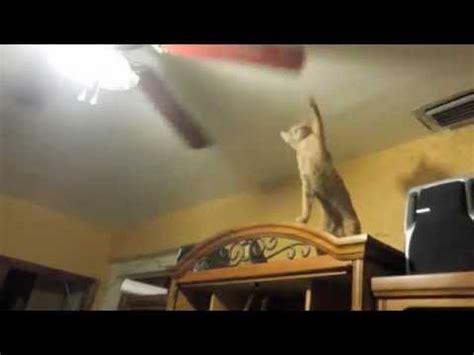 Cat In Ceiling Fan by Cat And Ceiling Fan