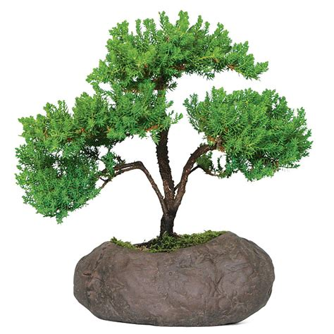 Different Types Of Trees Green Mound Juniper Care