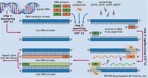 pcr test taq polymerase enzyme britannica