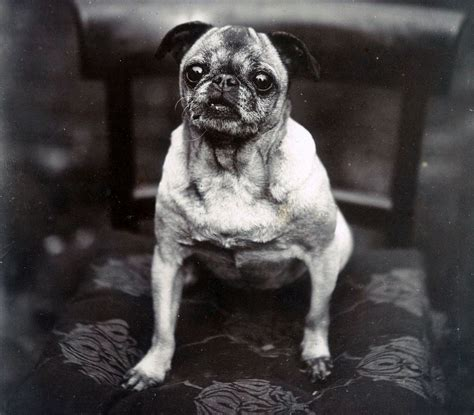 what pugs used to look like this is what your favourite dogs used to look like metro news