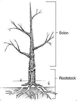scion and rootstock how to grow your own rootstocks