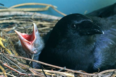 a teeny tiny tinsy wincy baby crow aww
