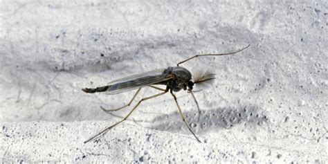 What Causes Gnats In The Bathroom by How To Get Rid Of Gnats And Prevent Their Bites