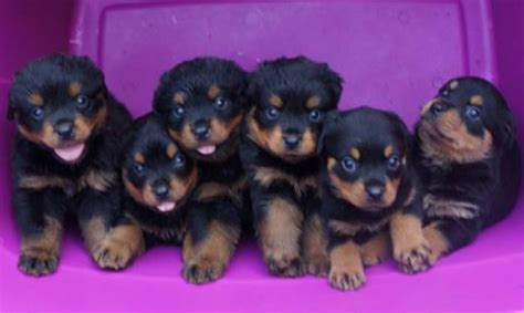 rottweiler breeders in ma rottweiler puppy www pixshark images galleries with a bite