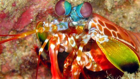 mantis shrimp colors colorful mantis shrimp