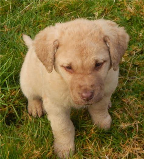 chesapeake bay retriever puppies for sale near me akc chesapeake bay retriever puppies for sale washington state