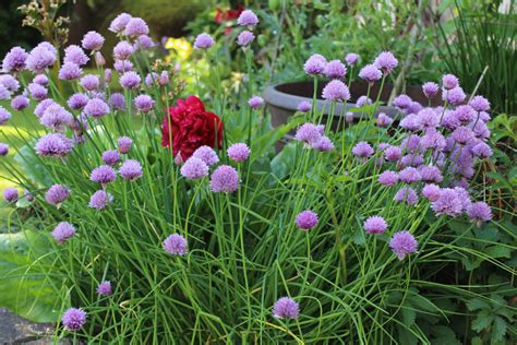 Full Sun Container Garden Ideas - chives