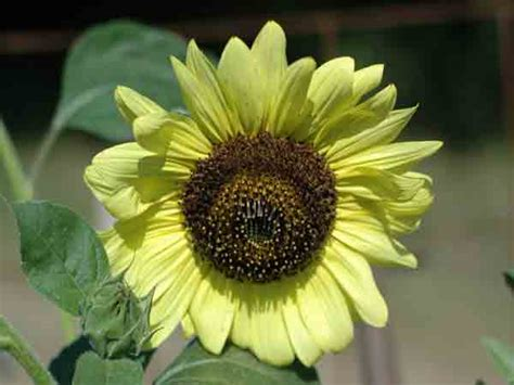 Biji Bunga Sunflower Italian White italian white sunflower seeds baker creek heirloom seeds