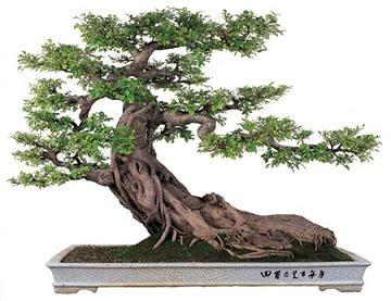 indoor bonsai kaufen how to take care of bonsai trees