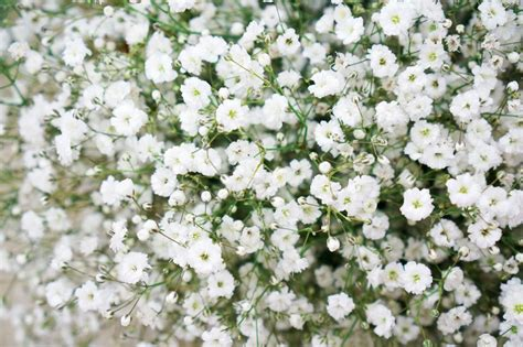 flowers photo tiny white flowers in bloom light filler flowers for wedding bouquets