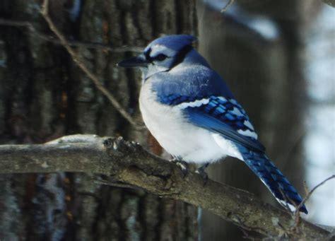 fotos gratis naturaleza rama fauna silvestre pico arrendajo azul vertebrado pinzon