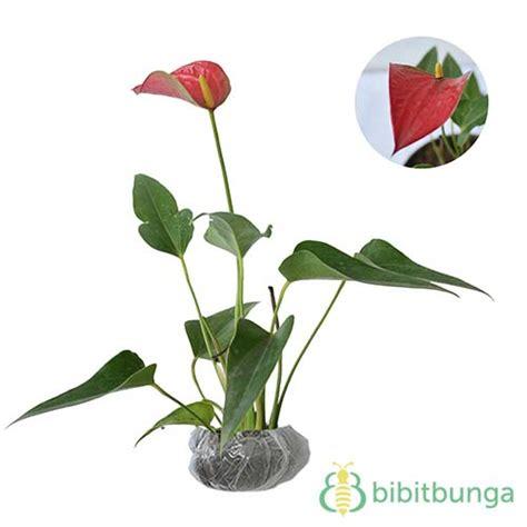 Tanaman Bunga Anthurium Merah 1 tanaman anthurium bangkok putih bibitbunga