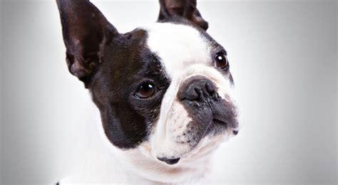 boston terrier dogs boston terrier breed information american kennel club