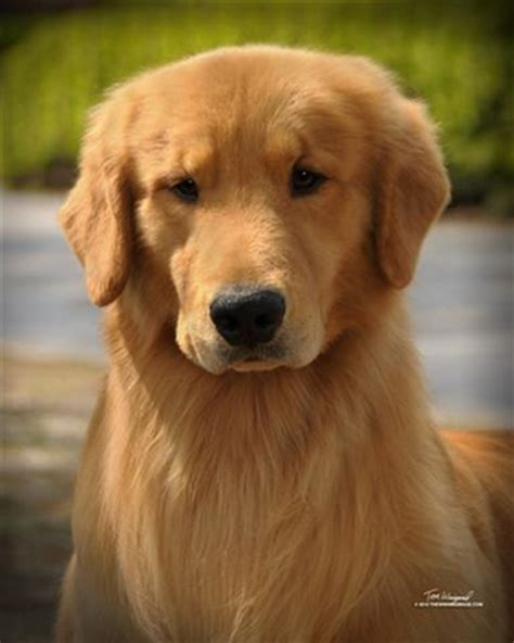 gemini golden retrievers puppy from gemini golden retrievers of rockledge florida