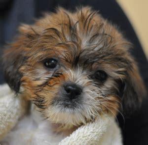 spca puppies spca for monterey county adopt rescue donate