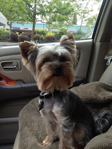 yorkie summer cut yorkie haircuts pictures summer cuts 356 best images about adorable on
